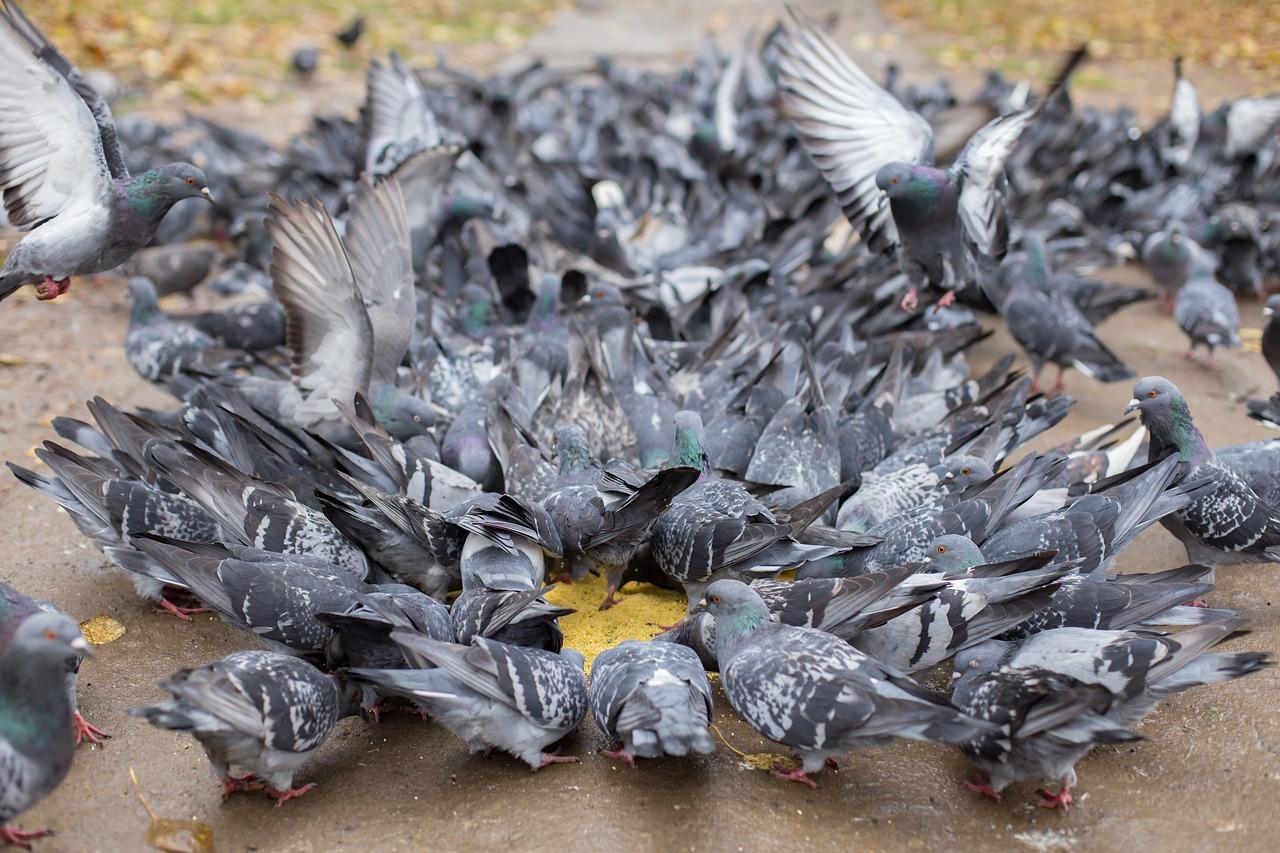 Pigeons 2940225 1280