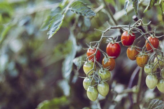 Uprawa pomidorów łatwiejsza niż myślisz