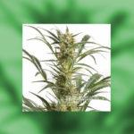 Jakie są właściwości zdrowotne nasion konopi?